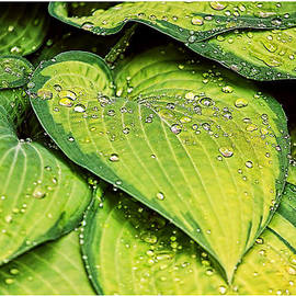 Geraldine Scull   - Heart Shaped Leaves With Water Drops