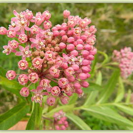 Kathy Barney - Heart-Shaped Cluster Pink