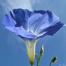 MTBobbins Photography - Heavenly Blue on Blue
