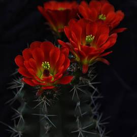 Saija  Lehtonen - Hedgehog Cactus Bouquet