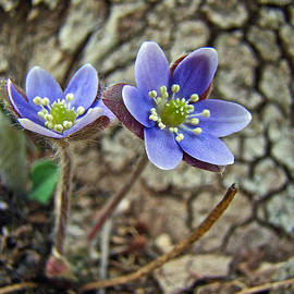 Mother Nature - Hepatica Wildflower - Hepatica nobilis