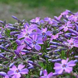 MTBobbins Photography - Here Come the Phlox