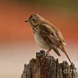 World Wildlife Photography - Hermit Thrush Pictures 20