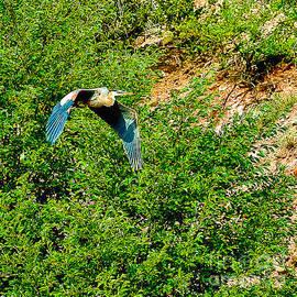 Dr Bob and Nadine Johnston - Heron flies Over Oak Creek in Red Rock State Park Sedona Arizona
