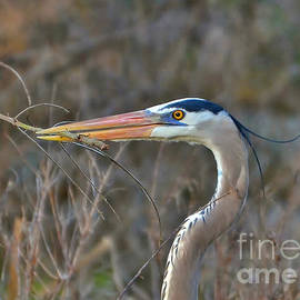 Kathy Baccari - Heron Gathering Sticks To Nest