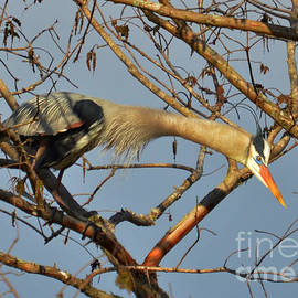 Kathy Baccari - Heron Stretching It