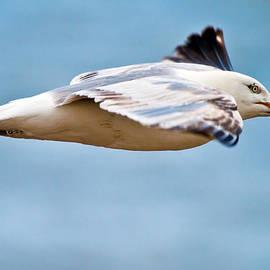 Mr Bennett Kent - Herring Gull In Flight