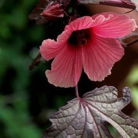 Denise Clark - Hibiscus Acetolsella Study