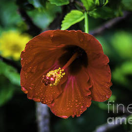 Mitch Shindelbower - Hibiscus