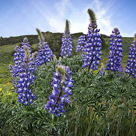 Jean Noren - Highlighted Lupines