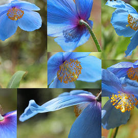 Jennie Marie Schell - Himalayan Blue Poppy Collage