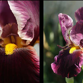 Kathy Clark - His Majesty Iris Diptych