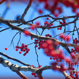 Tina M Wenger - Holly Art On Branches