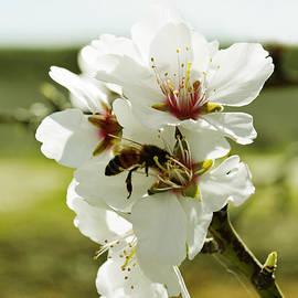Pamela Patch - Honey Bee on an Almond Blossom