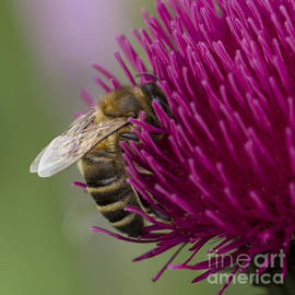 Clare Bambers - Honey bee on Ornamental Thistle