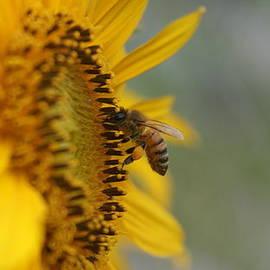 Rob Luzier - Honey bee on sunflower.