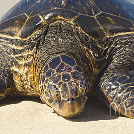 Sharon Mau - Honu Hawaiian Sea Turtle Hookipa Beach Maui North Shore Hawaii