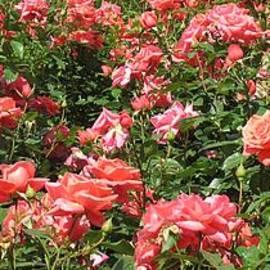Seija Talolahti - Horizontal Garden Roses