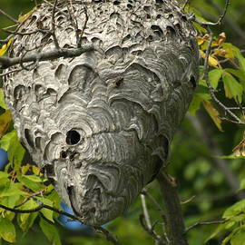 James Peterson - Hornet Nest