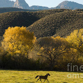 Robert Ford - Horses Frolicking in Rockville Utah
