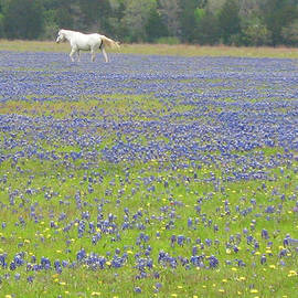 Connie Fox - Horses Running in Field of Bluebonnets