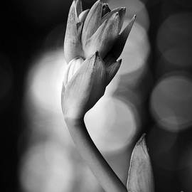 Lee Craig - Hosta Bloom Peek in Black and White