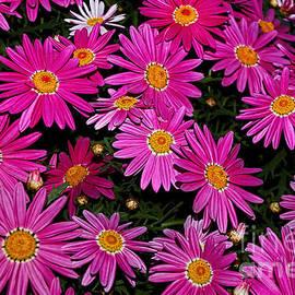 Kaye Menner - Hot Pink Daisies