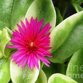 Ella Kaye Dickey - Hot Pink - Flowering Heart Leaf Succulent