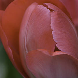 Julie Palencia - Hot Pink Tulip