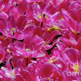 Allen Beatty - Hot Pink Tulips