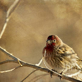 Dianne Phelps - House Finch Three