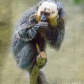 TN Fairey - Houston Zoo - Saki monkey