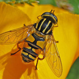Barrie Woodward - Hover Fly