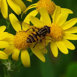 Lori Frisch - Hover Fly on Yellow