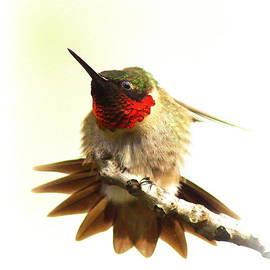 Travis Truelove - Hummingbird 2180-11
