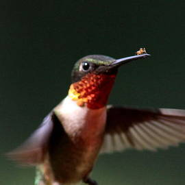 Travis Truelove - Hummingbird - Hitching a Ride - Ruby-throated Hummingbird