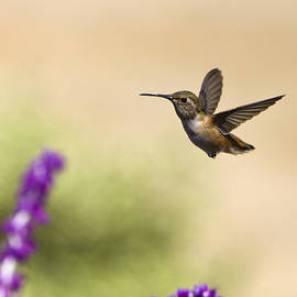 David Millenheft - Hummingbird in flight