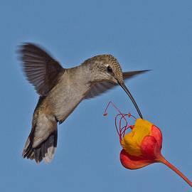 John Kulberg - Hummingbird