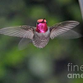 Jay Milo - Hummingbird Male Anna