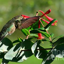 Debbie Portwood - Hummingbird morning