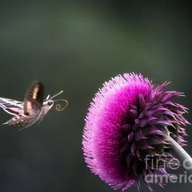 Barbara Chichester - Hummingbird Moth