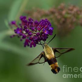 Douglas Stucky - Hummingbird Moth III