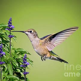 Kathy Baccari - Hummingbird On Purple Flowers