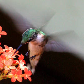 Patricia Adams - Hummingbird