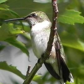Hummingbird Perfection