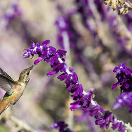 David Millenheft - Hummingbird collecting nectar