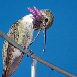 Ron D Johnson - Hummingbird Yawn with Tongue