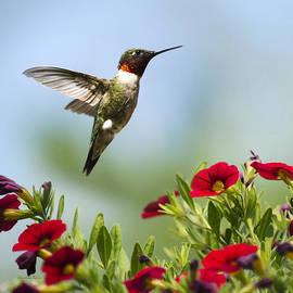 Christina Rollo - Hummingbirds Frolic Square