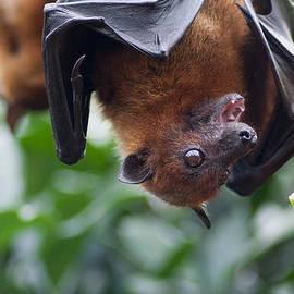 Daniel Precht - Hungry Bat