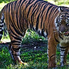 Miroslava Jurcik - Hungry tiger